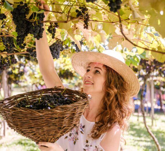 Festa da Vindima: viva o momento mais especial da Região Uva e Vinho